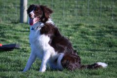 A Handsome springer collie cross pet dog Royalty Free Stock Images