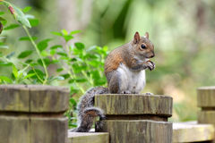 Handsome Squirrel Stock Image
