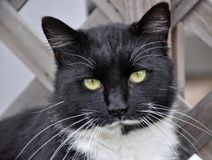 Handsome tuxedo cat looking at the viewer. With a slightly tilted head royalty free stock photo