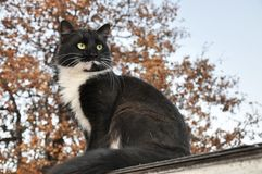 Handsome tuxedo cat sitting high up, looking to the right of the viewer. With an oak tree on the background royalty free stock images