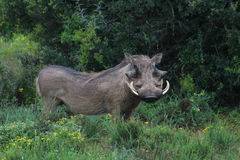 Handsome Warthog Royalty Free Stock Photos