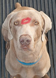 Handsome Weimarager dog with a lipstick kiss Stock Photo