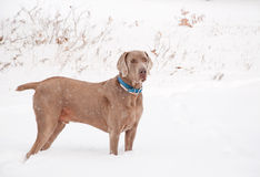Handsome Weimaraner dog in snow Stock Photos