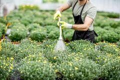 Worker with flowers in the greenhouse. Handsome worker in uniform watering flowers in the greenhouse Royalty Free Stock Photography