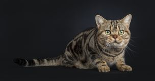 Handsome young adult black tabby American Shorthair cat , Isolated on a black background.