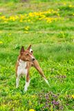 Handsome young Basenji dog. A young basenji girl on a green grass in a summer field Royalty Free Stock Photography