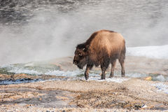 Handsome Young Bison Stock Images
