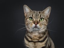 Handsome young brown tabby American Shorthair cat on black background royalty free stock image