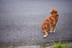 Handsome red ginger tabby cat sitting down on an asphalt road looking backwards. stock photo