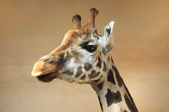 Handsome young giraffe. Stock Image