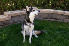 Handsome young husky dog with head in profile