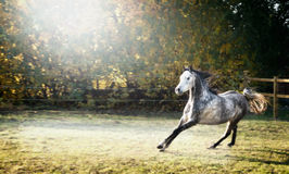 Handsome young stallion horse runs gallop on beautiful pasture background Royalty Free Stock Image