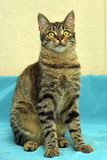 Handsome young tabby cat royalty free stock image