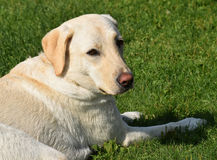 Handsome Young Yellow Labrador Retriever Lying in the Grass Stock Images