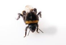 Handstand del abejorro Fotos de archivo libres de regalías