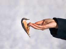 Handtamed wood nuthatch. Feeding of wild birds and animals in the winter stock photo
