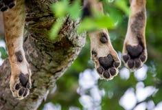 Handtastelijk wordt leeuwin, die op de boom ligt Close-up oeganda 5 maart 2009 Royalty-vrije Stock Fotografie