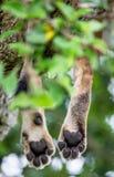 Handtastelijk wordt leeuwin, die op de boom ligt Close-up oeganda 5 maart 2009 Stock Afbeelding