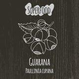 Handteckningsillustration av guaranaen Paullinia Royaltyfria Bilder