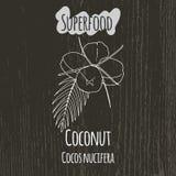 Handteckningsillustration av kokosnöten cocos Royaltyfri Foto