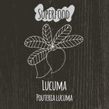 Handteckningsillustration av lucumaen Pouteria Royaltyfri Foto