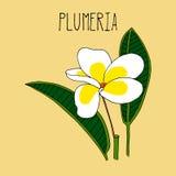 Handteckningsillustration av plumeria Royaltyfri Bild