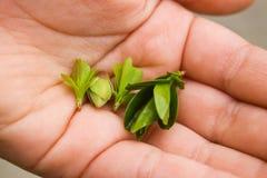 handväxter Royaltyfria Bilder