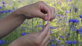 Handvermutungsliebe mit dem Gänseblümchenblumenblatt auf Kornblumehintergrund 4K stock video footage