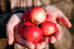 Handvol appelen Royalty-vrije Stock Foto's