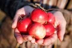 Handvol appelen Royalty-vrije Stock Foto
