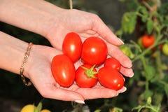 Handvol rijpe tomaten in handen op achtergrond van tomatenstruiken stock afbeeldingen