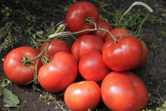 Handvol rode tomaten Royalty-vrije Stock Fotografie