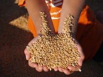 Handvol van gouden oogst Royalty-vrije Stock Foto's