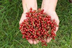Handvol van rode aalbes Stock Fotografie