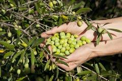 Handvoll grüne Oliven durch Baum Stockfotografie