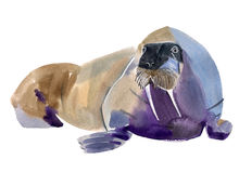 Handwork watercolor illustration of a walrus Stock Image