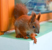 Handy baby squirrel. The charming baby of pet squirrel closeup royalty free stock photos