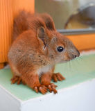 Handy baby squirrel. The charming baby of pet squirrel closeup royalty free stock images