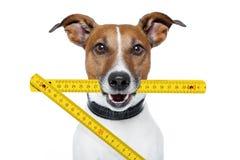 Handyman dog. With a yellow folding ruler stock image
