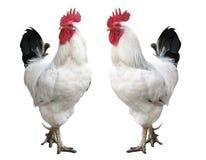 hane isolerad rooster Fotografering för Bildbyråer