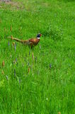 Hanefasan i gräs Arkivbild