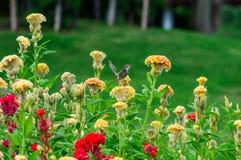 Hanekam kleurrijke bloemen Stock Fotografie