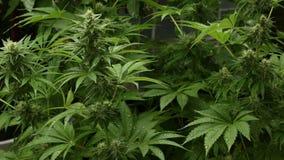 Hanf-einheimisches medizinisches Marihuana an einem regnerischen Tag stock footage