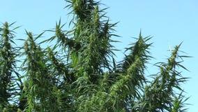 Hanf für die Bearbeitung des Marihuanas, illegal stock footage