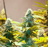 Hanf-Marihuana-Knospe Lizenzfreies Stockfoto