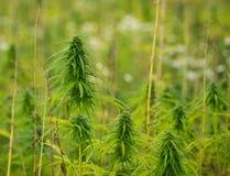 Hanf pflanzt das Wachsen auf dem Gebiet Lizenzfreies Stockfoto