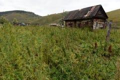 Hanfbüsche in West-Sibirien Russland lizenzfreie stockfotos