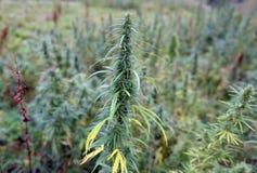 Hanfbüsche in West-Sibirien Russland stockbild