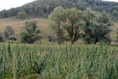 Hanfbüsche in West-Sibirien Russland stockbilder
