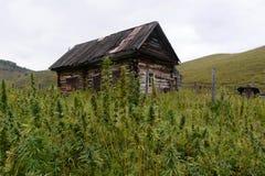 Hanfbüsche in West-Sibirien Russland lizenzfreie stockfotografie